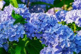 Cómo cambiar el color de tus hortensias Cómo cambiar el color de ...